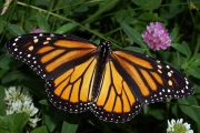 Monarch butterfly life journey